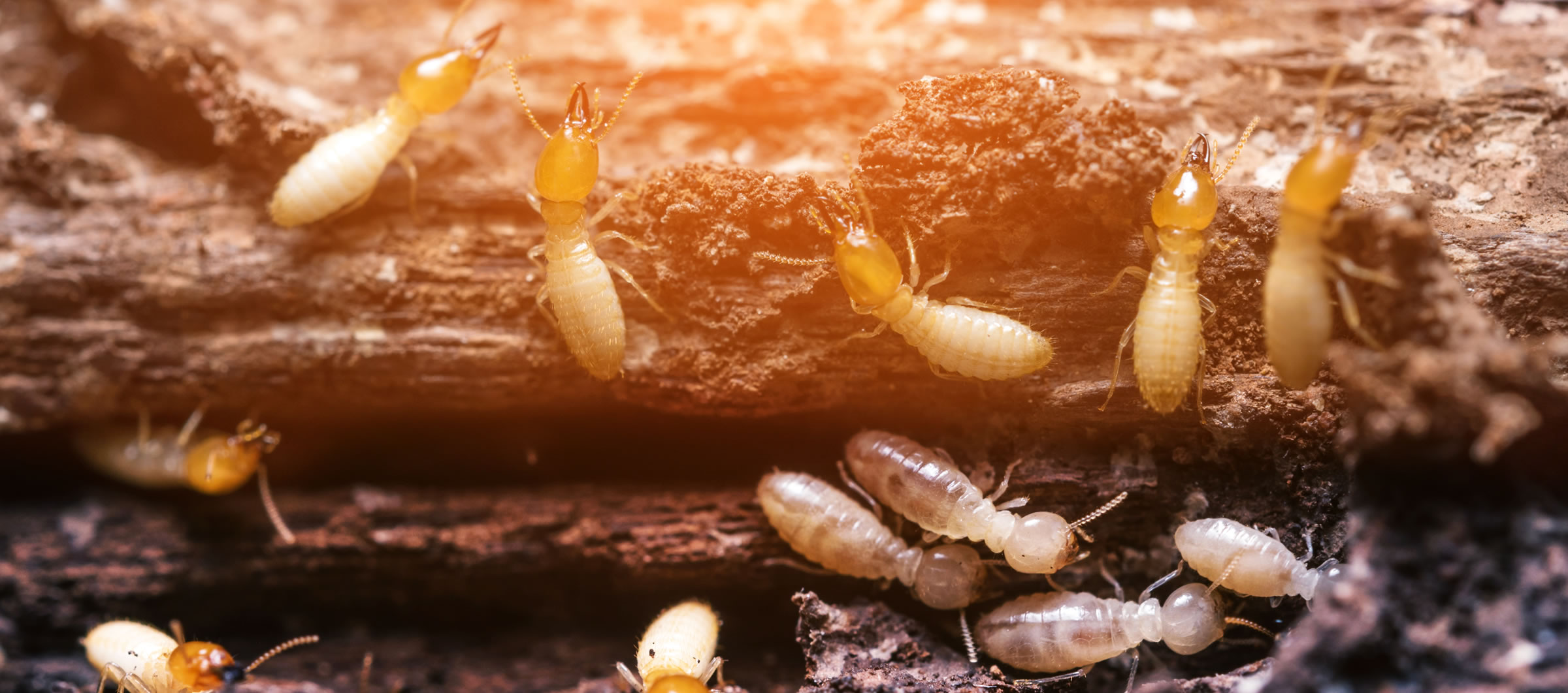 Ways to Get Rid of Termites Naturally