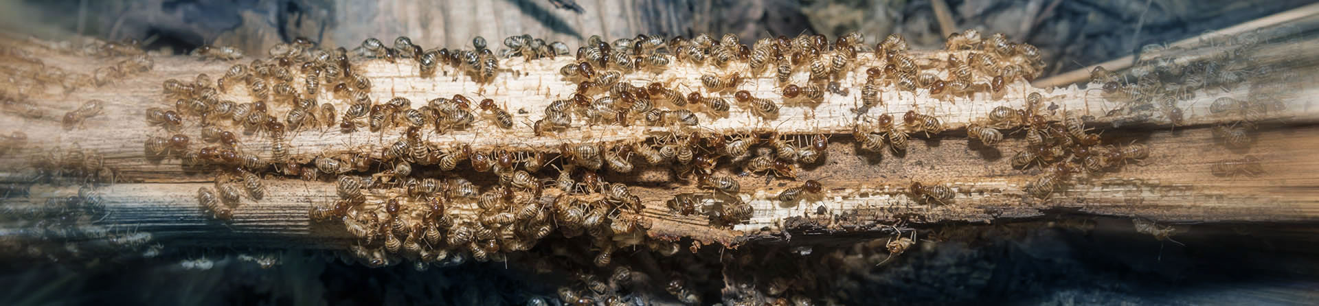 Termite Infestation Treatment Sacramento